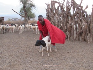 Babu Matthew Ole Misiko with sheep presented to Theo Dillaha, Maasai Education Foundation